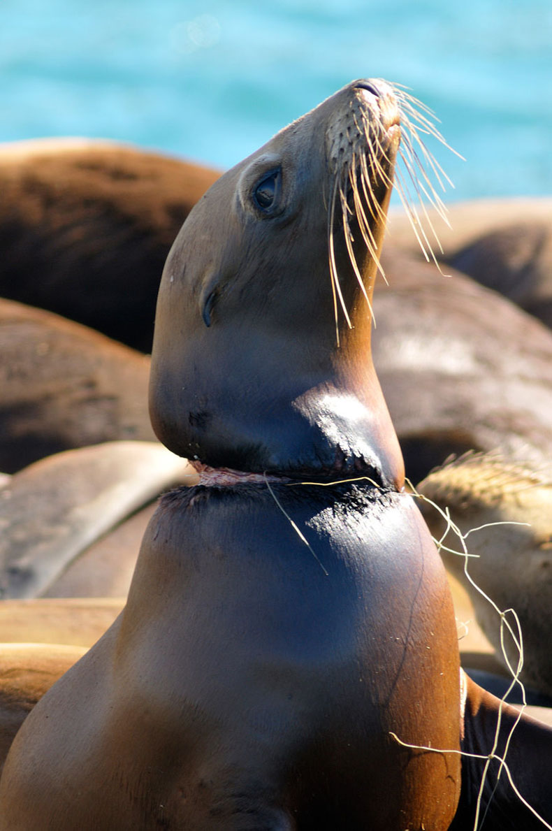 Sea lion strangled by discarded fishing gear